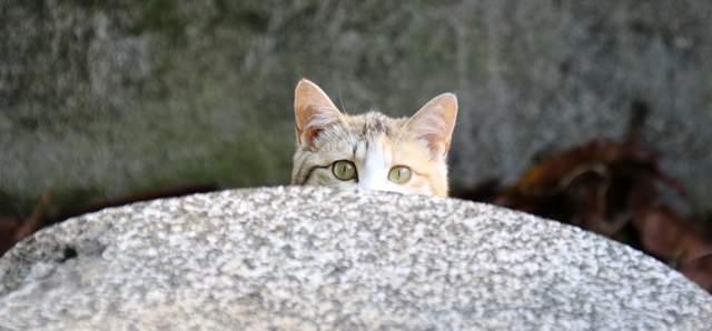 岩かげから少しだけ顔をのぞかせる猫